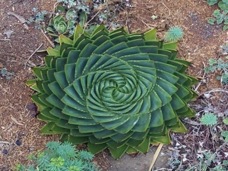 meio ambiente 23 plantas geométricas de arrepiar os fissurados em simetria e padrões - parte 1