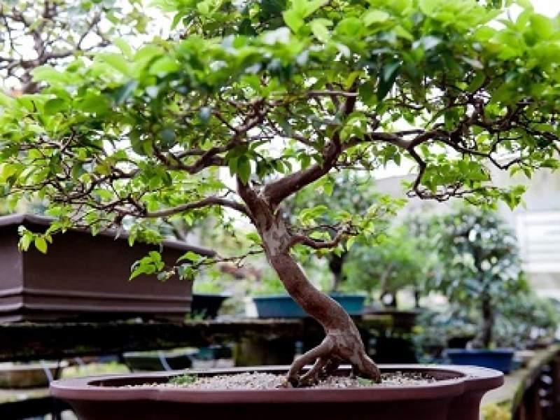 paisagismo bonsai: como comprar, cuidar, cultivar, regar